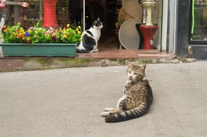 Istanbul street cats