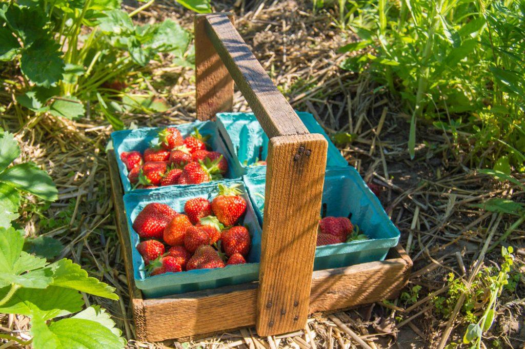 russian-dacha-strawberry