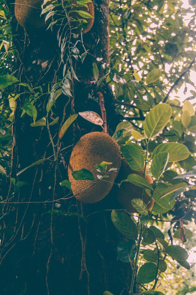 джекфрут шри ланка