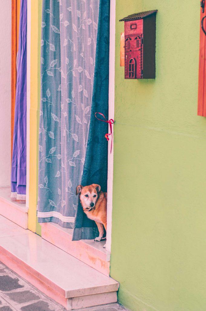 burano-dog